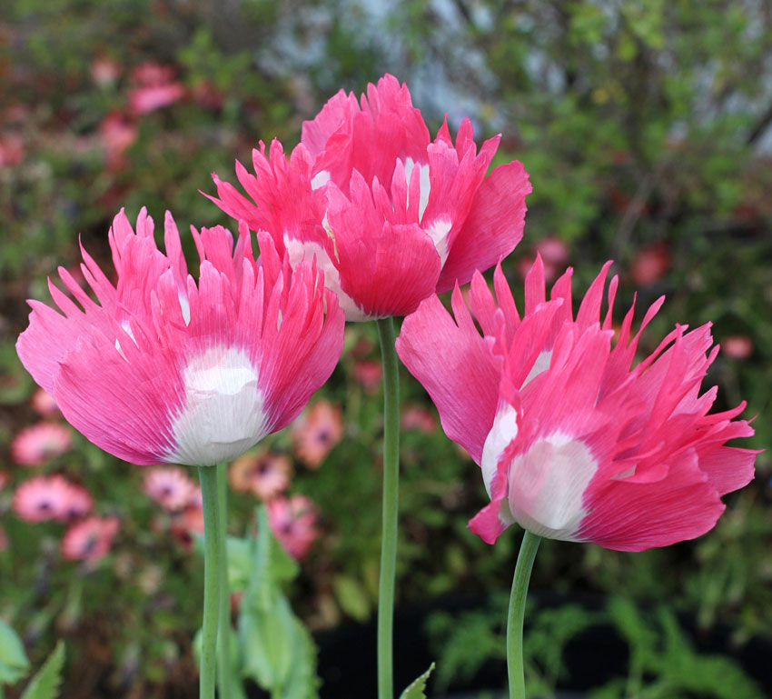 Papaver Hybridum Afghan Pink And White Poppy Buy Online At