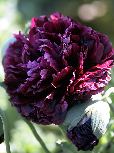 "Papaver hybridum 'Black Peony' ""Poppy"" - Buy Online at Annie's Annuals"