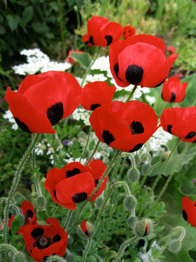 Papaver commutatum ladybird poppy buy online at annies annuals papaver commutatum ladybird poppy mightylinksfo