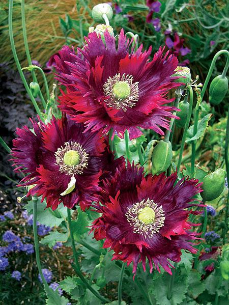 Papaver hybridum drama queen poppy buy online at annies annuals mightylinksfo