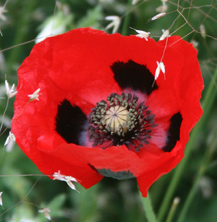 Papaver species greek poppy buy online at annies annuals greek greek poppy mightylinksfo