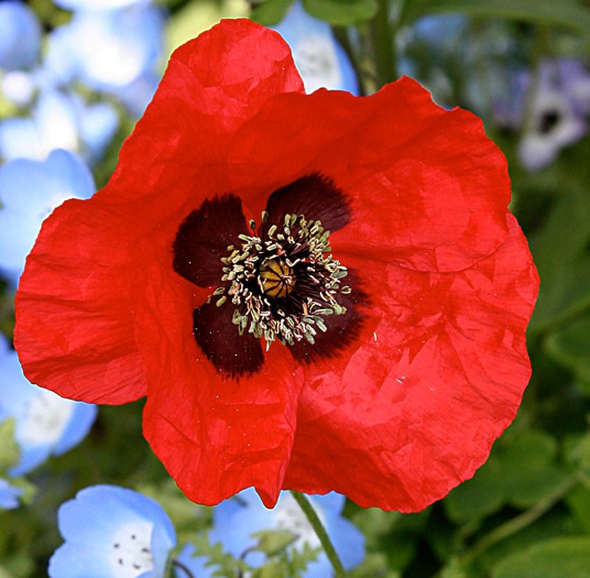 Papaver Species Greek Poppy Buy Online At Annie S Annuals