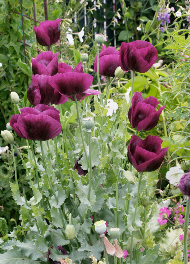 Papaver hybridum laurens grape poppy buy online at annies papaver laurens grape laurens grape poppy mightylinksfo