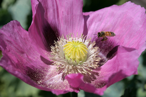 Papaver 'Lavender Breadseed'