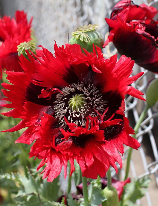 Papaver hybridum naughty nineties poppy buy online at annies papaver naughty nineties mightylinksfo
