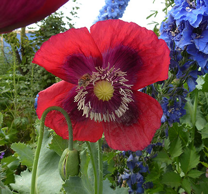 "Papaver ""Raspberry Breadseed'"
