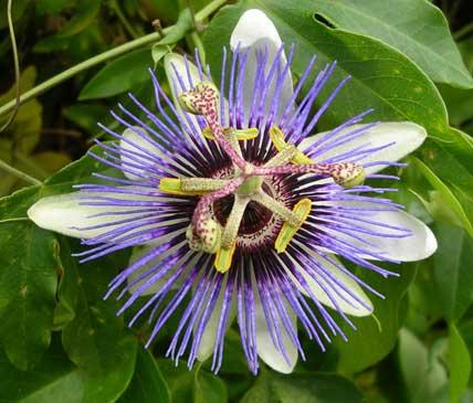 passiflora caerulea blue passionflower. Black Bedroom Furniture Sets. Home Design Ideas