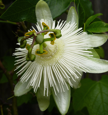 Passiflora Caerulea Constance Elliot Buy Online At Annie S Annuals
