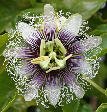 Passiflora Edulis Frederick Buy Online At Annie S Annuals