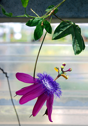 Passiflora loefgrenii garlic passion fruit buy online at annies passiflora loefgrenii garlic passionfruit passiflora loefgrenii mightylinksfo