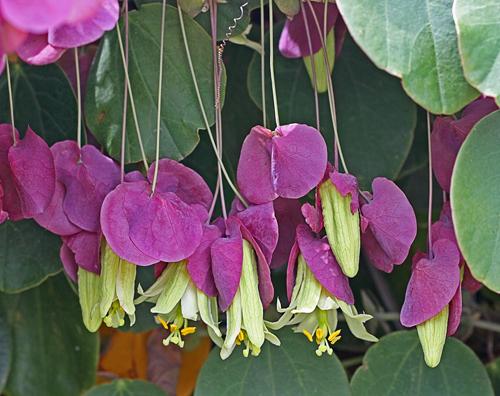 Passiflora Membranacea Buy Online At Annie S Annuals