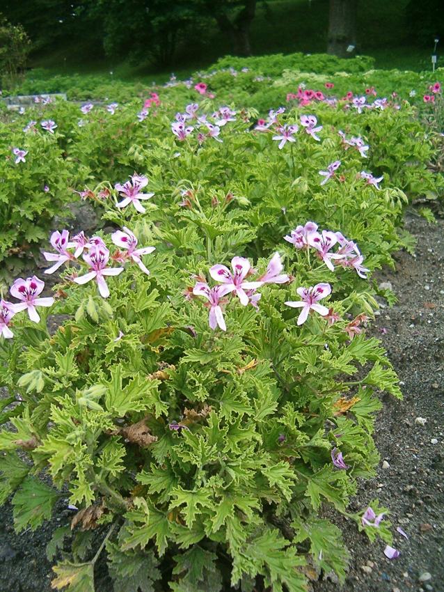 Pelargonium Citrosum Citronella Buy Online At Annie S Annuals