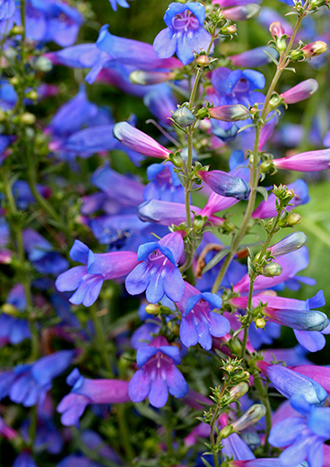 Penstemon heterophyllus