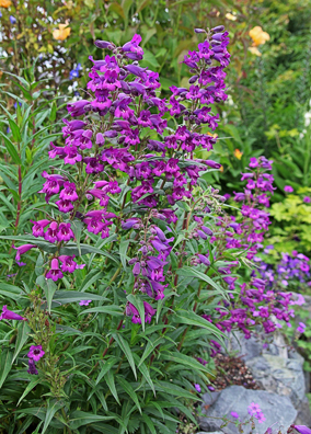 Penstemon X gloxinioides 'Midnight'
