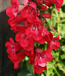 Penstemon hartwegii 'Tubular Bells Red'