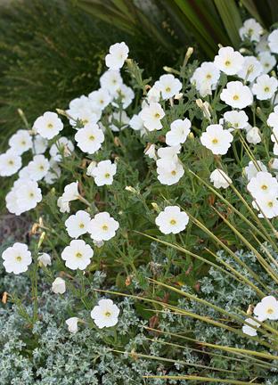 Petunia axillaris wild white petunia buy online at annies annuals petunia axillaris wild white petunia mightylinksfo