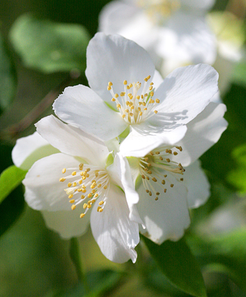 "Philadelphus lewisii ""Wild Mock-orange"""