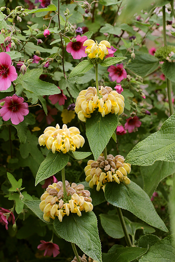 Phlomis viscosa buy online at annies annuals handles droughty conditions stays pretty through it all butterfly bee approved large 3 clusters of yellow flowers form pom pom like fuzzy balls mightylinksfo