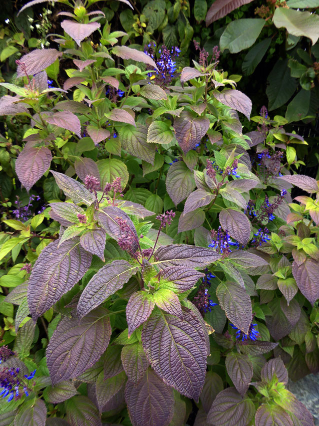 plectranthus chirindensis buy online at annie 39 s annuals. Black Bedroom Furniture Sets. Home Design Ideas