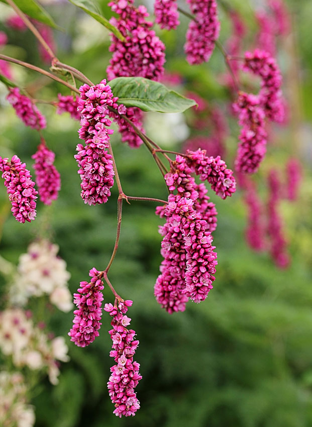 Polygonum Orientale Quot Kiss Me Over The Garden Gate Quot Buy