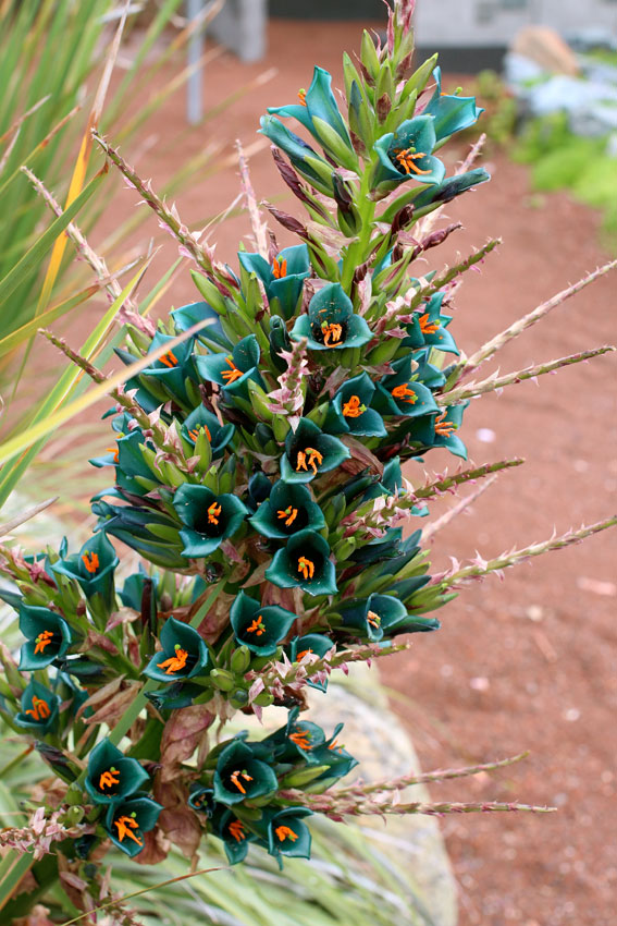 Puya Berteroniana Quot Turquoise Puya Quot Buy Online At Annie S