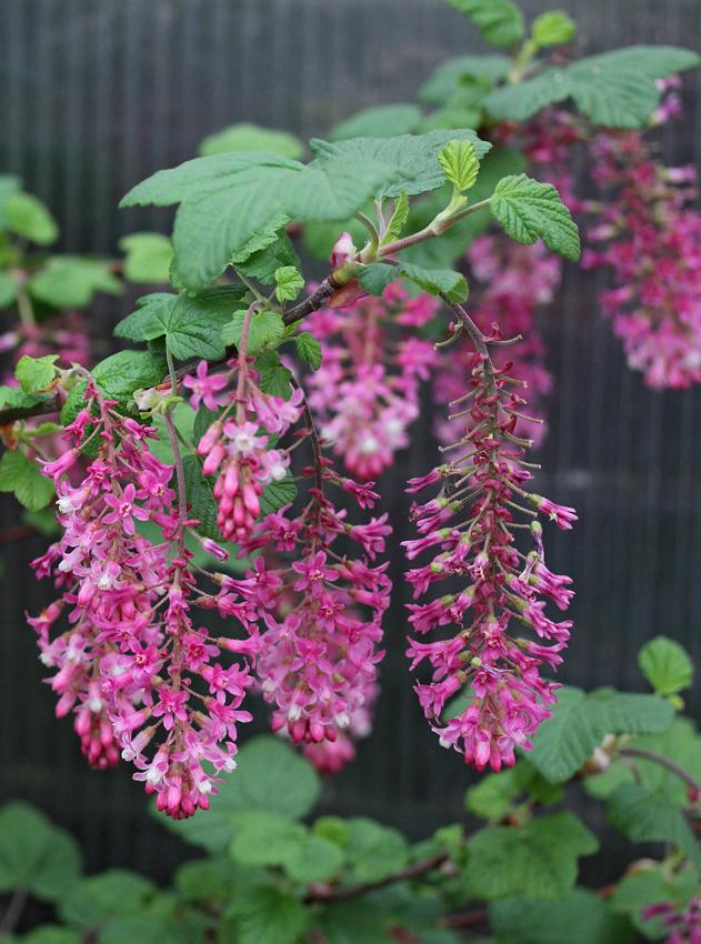 Ribes Sanguineum Claremont Quot Pink Flowering Currant Quot Buy Online At Annie S Annuals