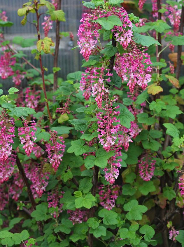 Ribes Sanguineum Claremont Quot Pink Flowering Currant