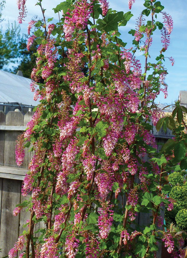 Ribes Sanguineum Claremont Pink Flowering Currant Buy Online