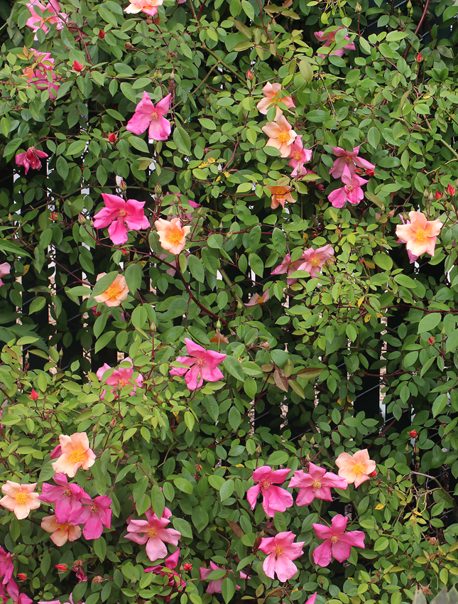 Rosa Chinensis Mutabilis Quot China Rose Quot Buy Online At