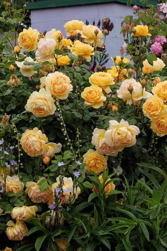 rosa 39 golden celebration 39 hybrid shrub rose buy online. Black Bedroom Furniture Sets. Home Design Ideas