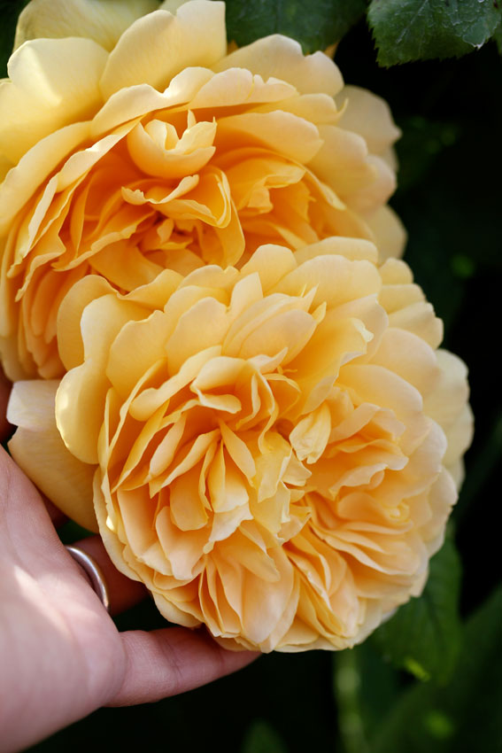 Rosa Golden Celebration Quot Hybrid Shrub Rose Quot Buy Online