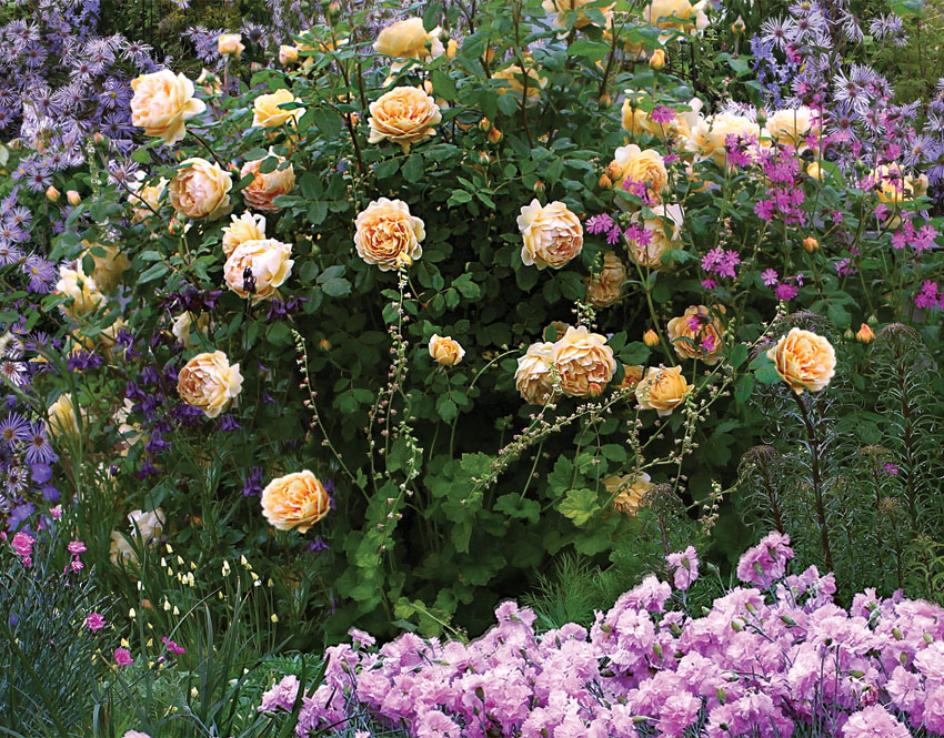 rosa 39 golden celebration 39 hybrid shrub rose buy online. Black Bedroom Furniture Sets. Home Design Ideas