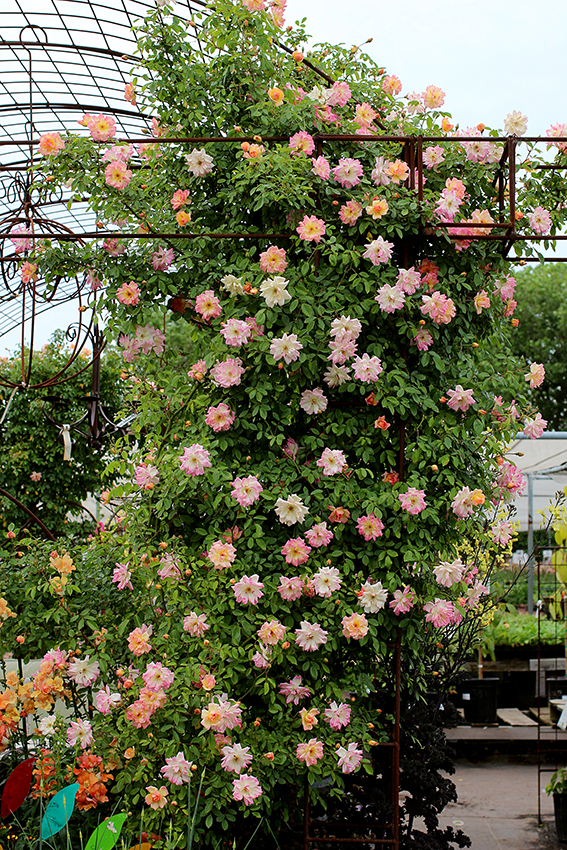 Rosa Phyllis Bide Quot Climbing Rose Quot Buy Online At Annie