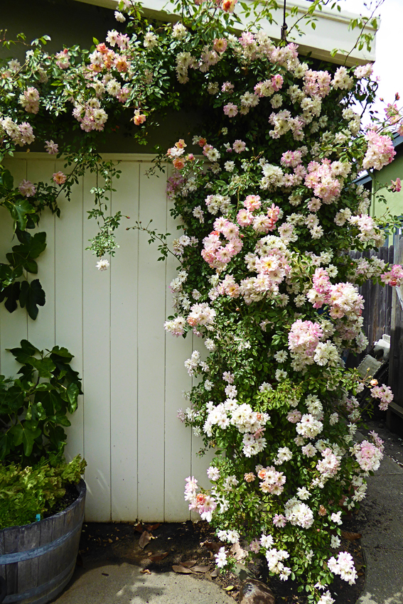 Rosa Phyllis Bide Climbing Rose Buy Online At Annie S Annuals