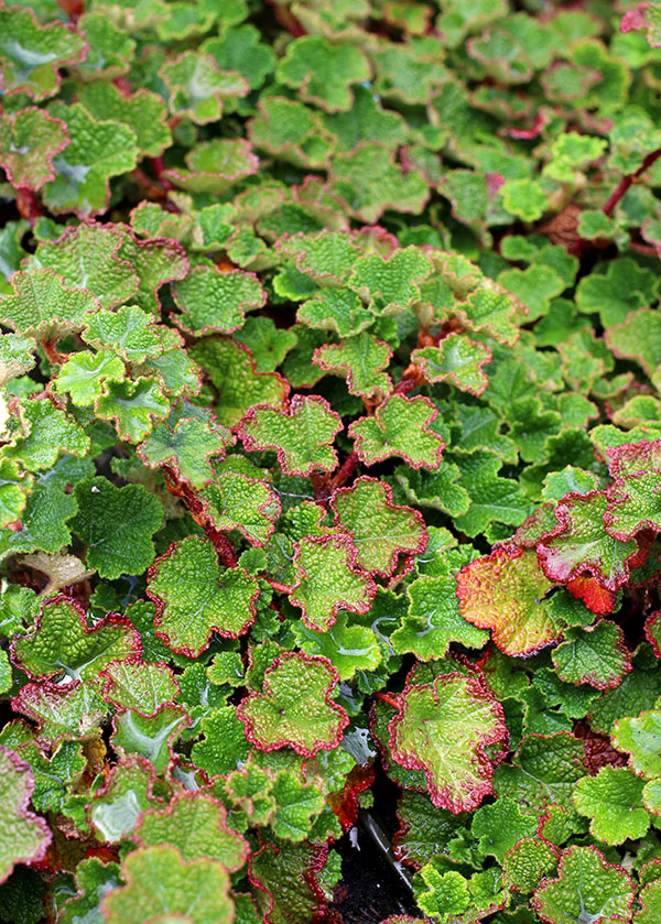 Rubus Calcynoides Creeping Raspberry A Standout Groundcover