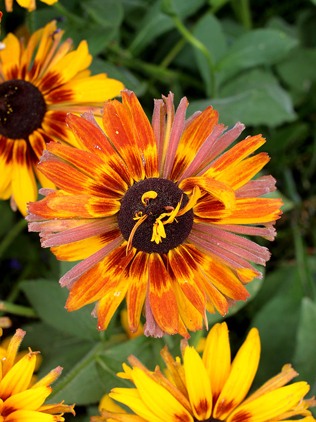 Rudbeckia Hirta Chim Chiminee Buy Online At Annie S Annuals