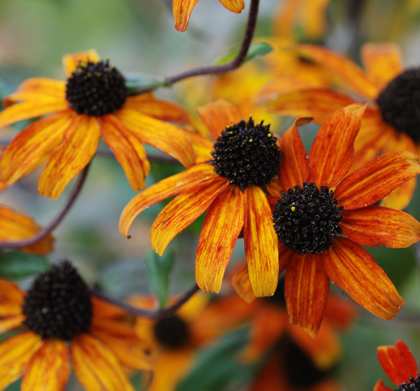 Rudbeckia Triloba Red Sport Buy Online At Annie S Annuals