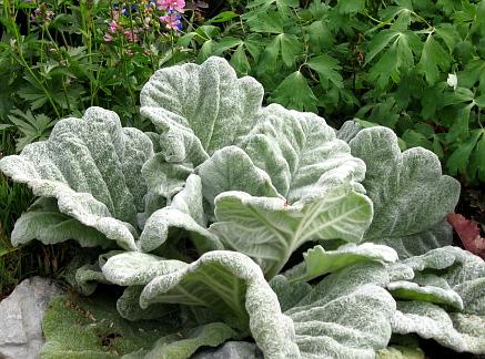 """Salvia argentea """"Silver Sage"""""""
