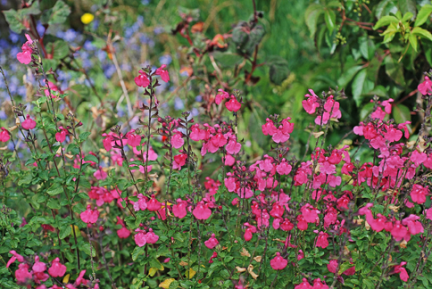 salvia microphylla pink   buy online at annie s annuals