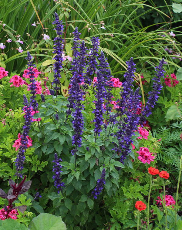 Salvia 'Mystic Spires' - Buy Online at Annie's Annuals