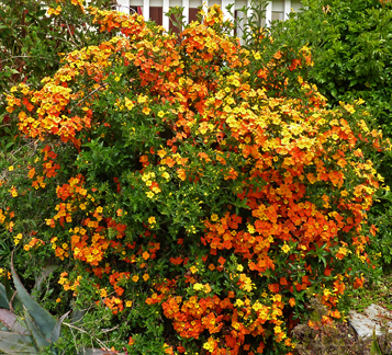"Streptosolen jamesonii ""Marmalade Bush"""