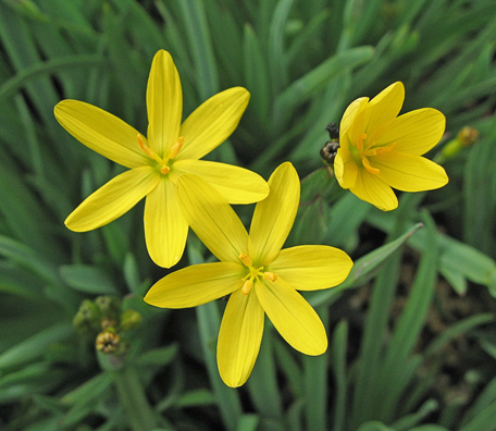 Sisyrinchium californicum yellow eyed grass buy online at sisyrinchium californicum yellow eyed grass mightylinksfo