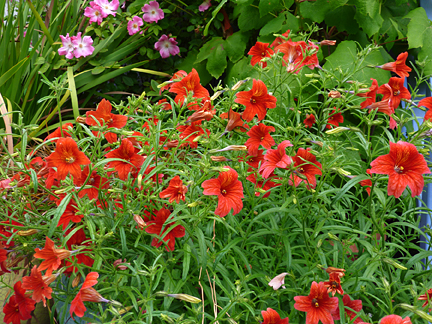 Salpiglossis sinuata 'Wild Orange'