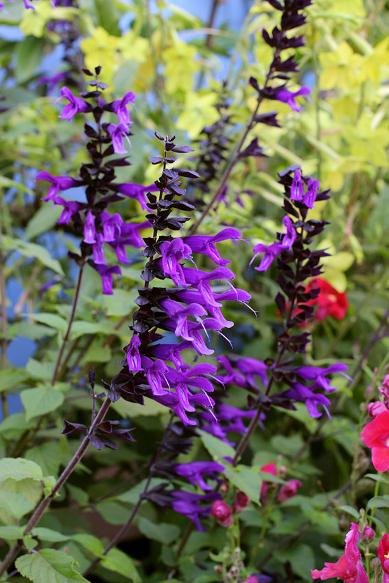 how to get salvia extract from plant