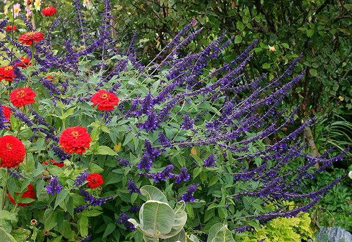 Salvia Anthony Parker Buy Online At Annie S Annuals