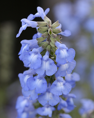 Salvia azurea (syn S. pitcheri)