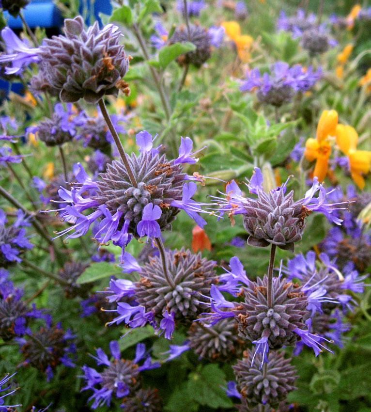 Plantes étonnantes (ou belles ou intéressantes ou marrantes ou ce que vous voulez) - Page 2 Salvia_celevelandii_winifred_gilman_02