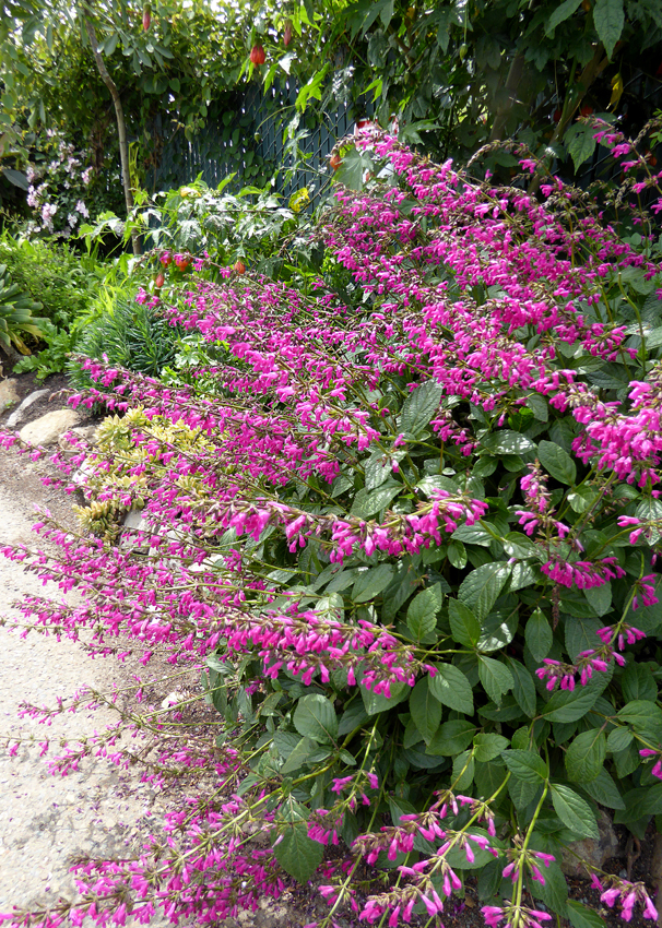 Fresh Pink Rose Flowers Salvia chiapensis &quo...