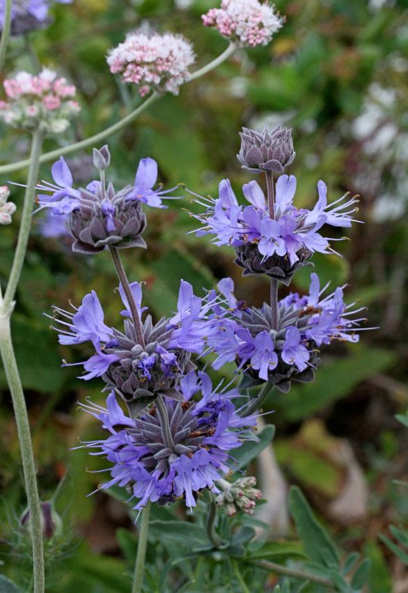 Salvia Leucophylla X Clevelandii Pozo Blue Buy Online