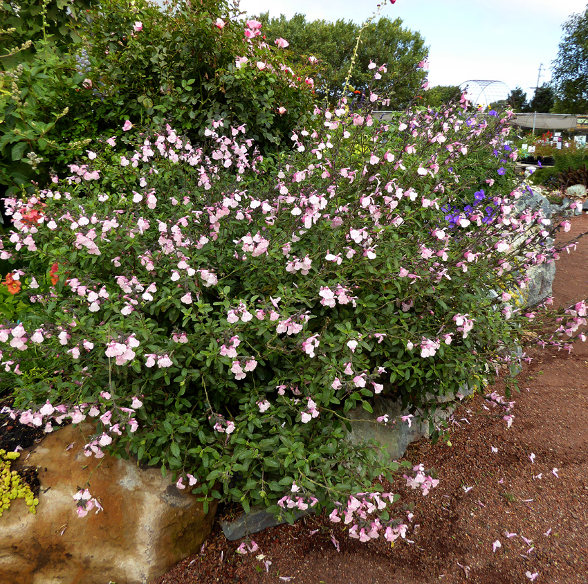 Deer Resistant Annuals For Shade